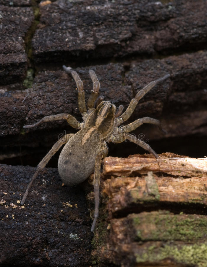 The spider royalty free stock photo