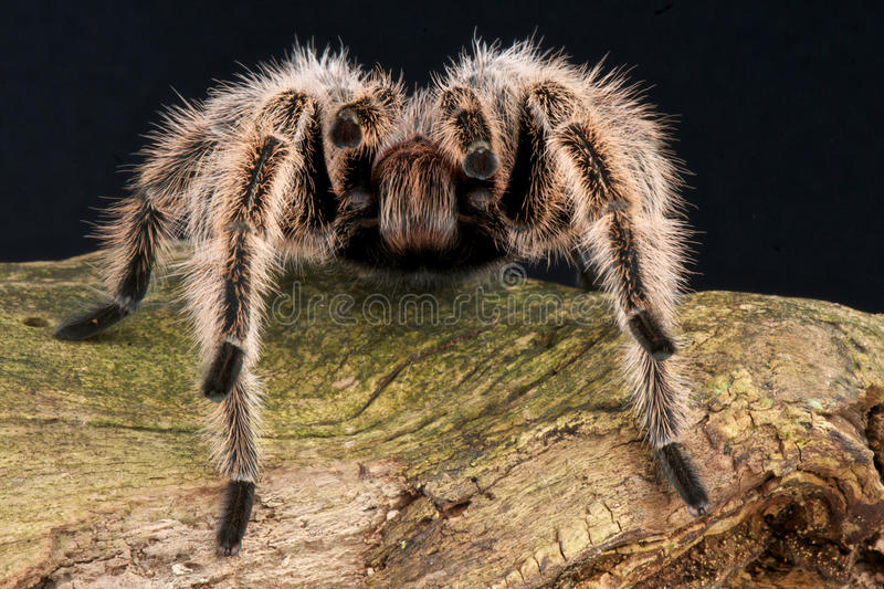 Spider. The Chilean rose tarantula (Grammostola rosea), also known as the Chilean flame tarantula, Chilean fire tarantula or the Chilean red-haired tarantula or royalty free stock image