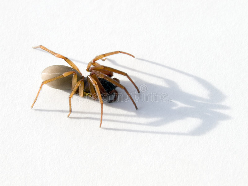 Spider. Closeup of a spider and its shadow royalty free stock photos