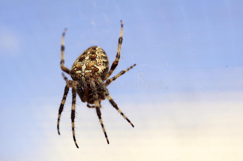 Spider. On a web, cross pattern on his body stock images