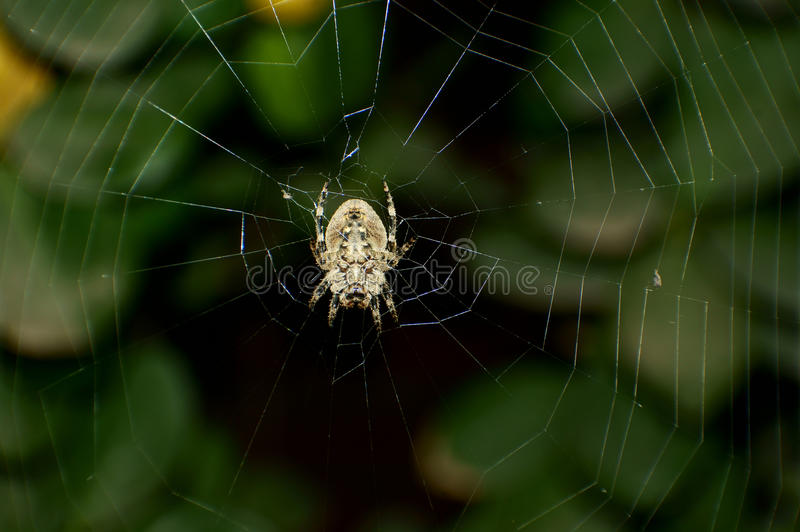 Download Spider stock image. Image of texture, araneae, fauna - 22621067
