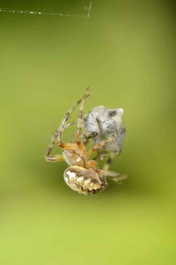 Download Spider Royalty Free Stock Photos - Image: 24489378