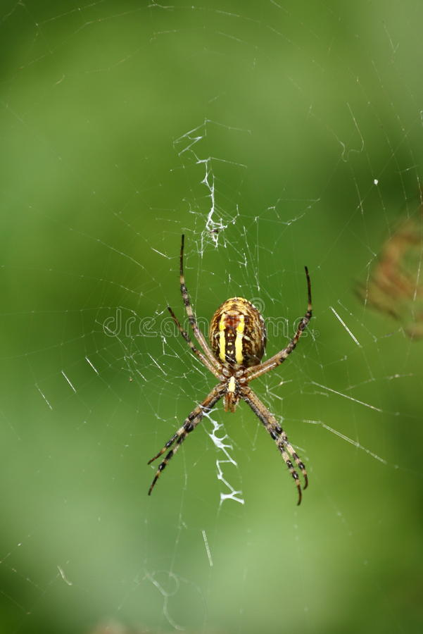 Download Spider stock photo. Image of legs, crawl, golden, creepy - 26501066