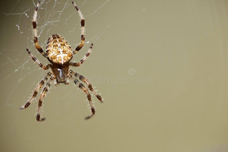 Download Spider stock image. Image of brown, ornamental, color - 28885527