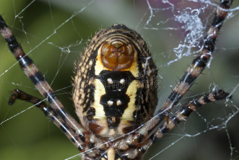 Spider abdomen. In close up royalty free stock image