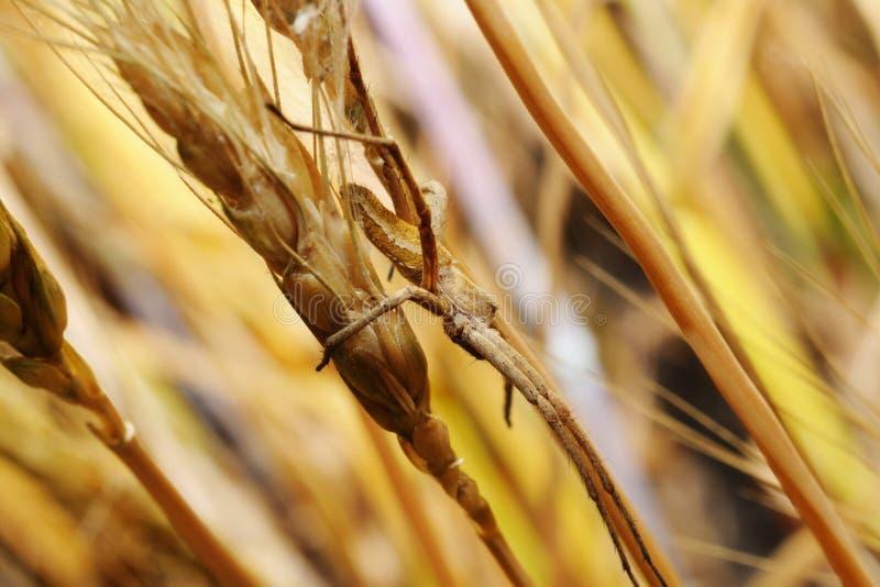 Spider in an ambush on wheat ear stock photo
