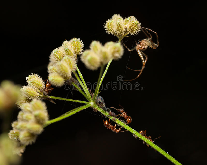 Spider, ants and greenfly. Macro red ants, plant louse colony and spider hunts on grass over dark background royalty free stock images