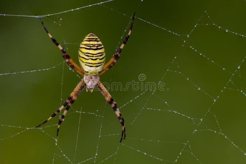 Spider, Arachnid, Orb Weaver Spider, Spider Web stock images