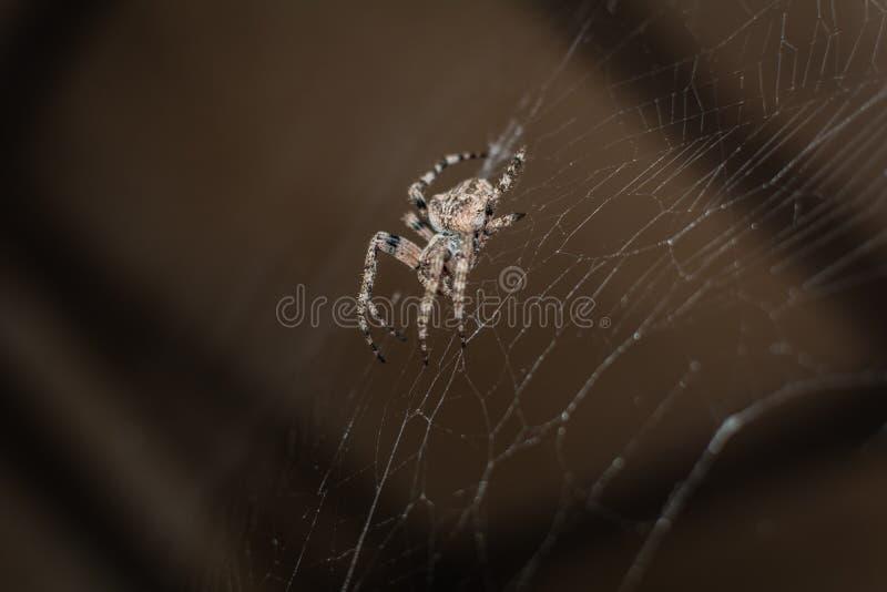 Spider Araneus stock photos