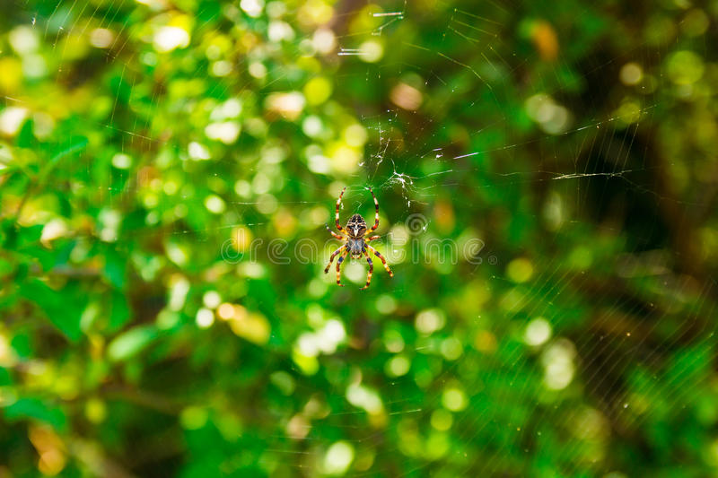 Spider Araneus and web on blackberry bush in mountain of Montenegro royalty free stock photography