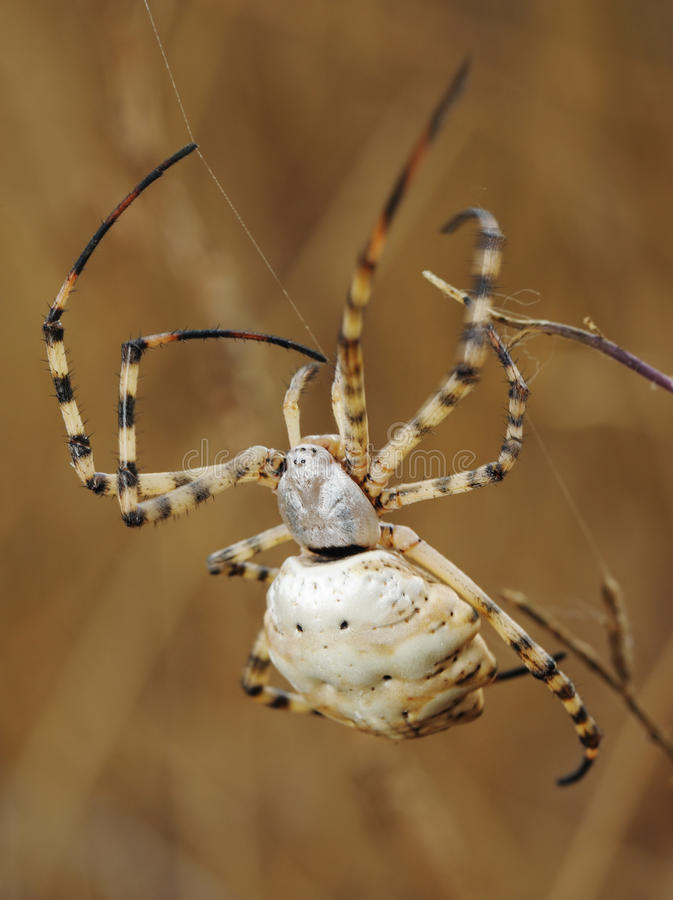 Spider argiope lobed. On the web among the grass royalty free stock images