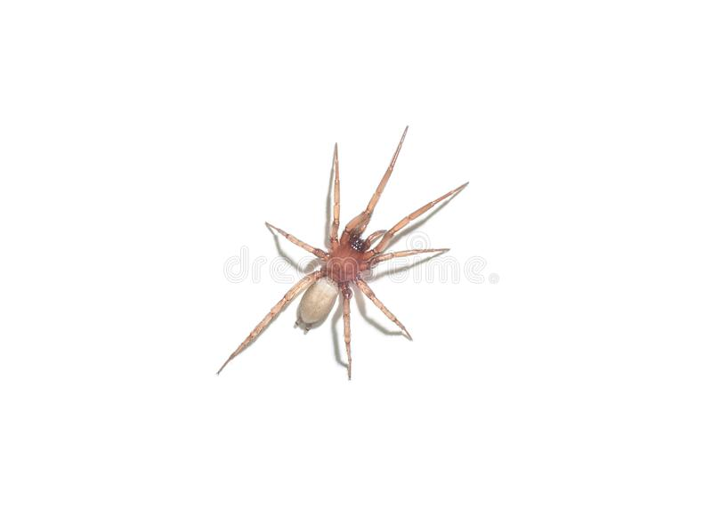 Diving bell spider isolated on white background stock photography
