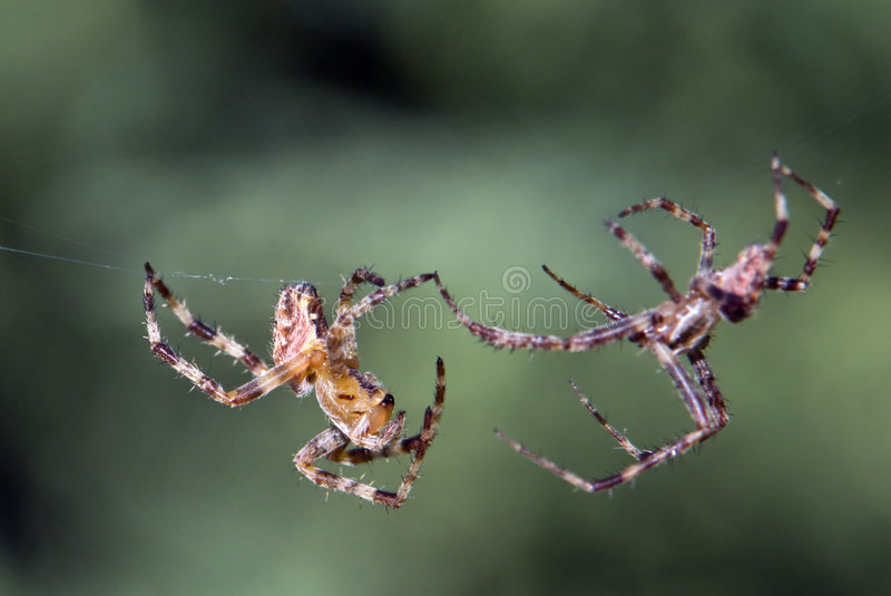 Spider on the attack. Two spiders in the attack position ready for the fight of their lives stock photo