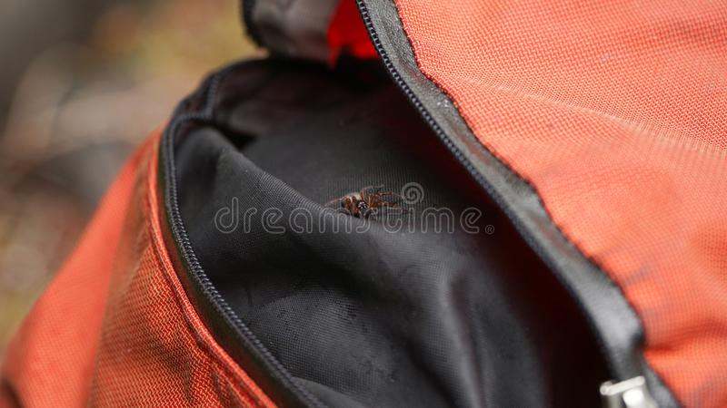 Spider in a Backpack on the Wonderland Trail, Canada.  stock photo