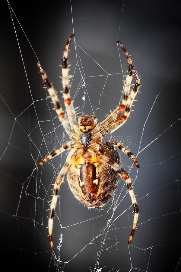 Spider. Big brown spider sitting on web royalty free stock photo
