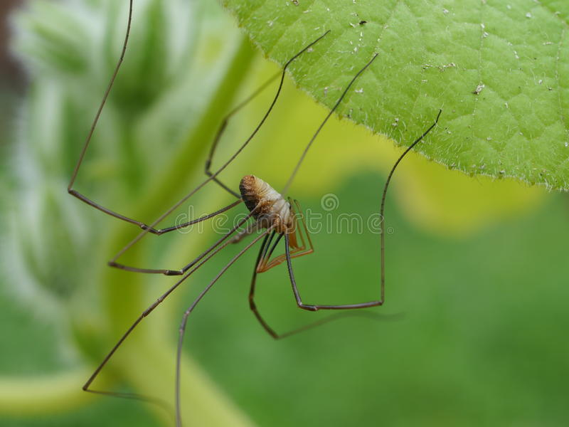 Spider. Big spider on green leaf royalty free stock images