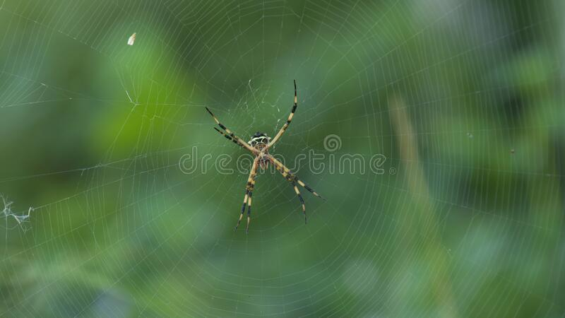 Spider with black and yellow body and legs in the center of its spider web on green background stock image