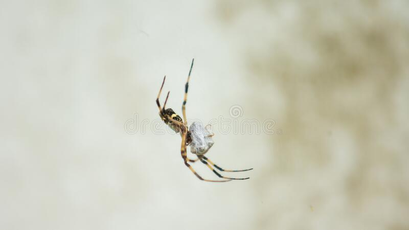 Spider with black and yellow body and legs wrapping around an insect it has just caught on white background stock photo