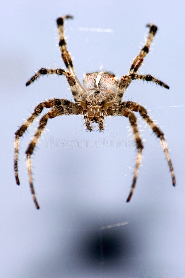 Spider on blue background stock photography