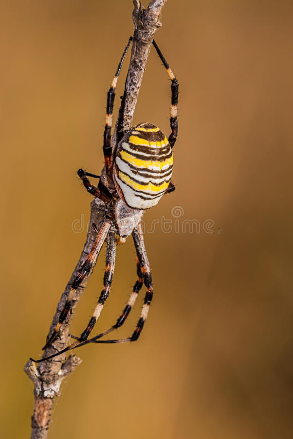 Spider on a branch waiting to hunt with great detail, yellow, black and white.  royalty free stock image