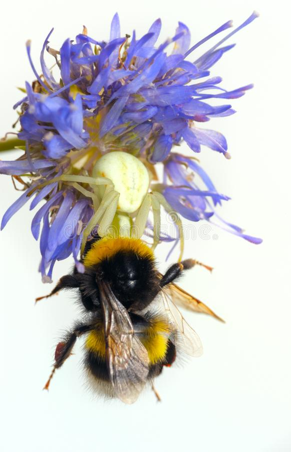 Download Spider and bumblebee stock image. Image of animals, arvensis - 13909133