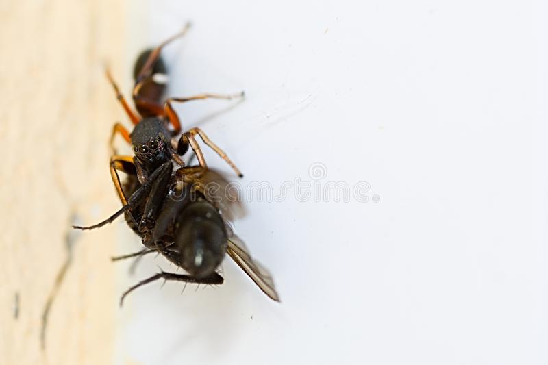 Spider carrying fly royalty free stock image