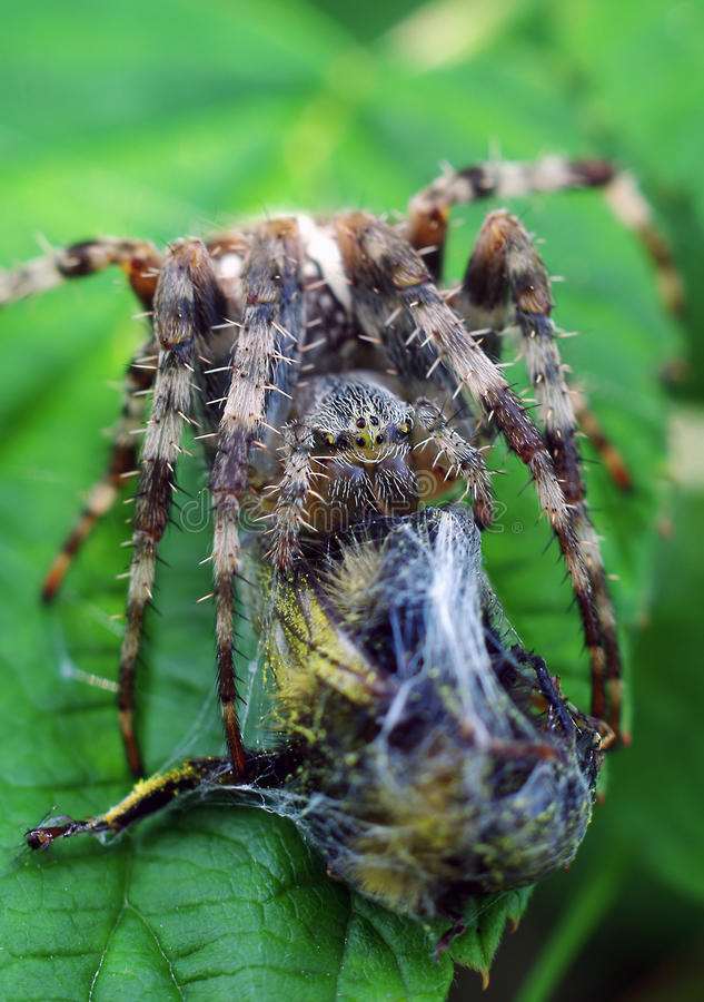 Spider with catch stock image