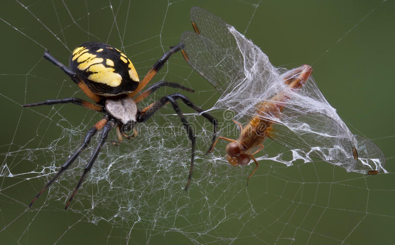 Spider catches dragonfly