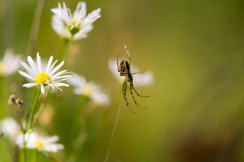 Spider chatting on a victim in its spider web. royalty free stock image