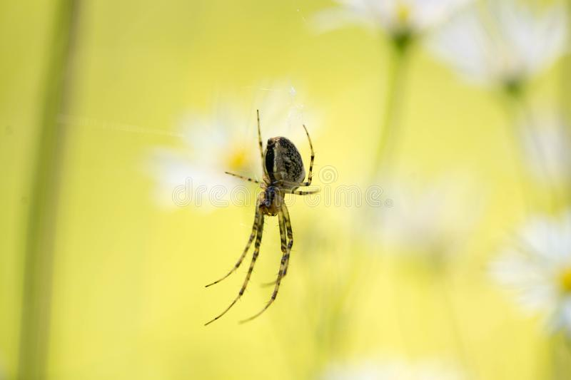 Spider chatting on a victim in its spider web. royalty free stock images