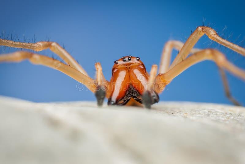 Spider (Cheiracanthium Punctorium) Royalty Free Stock Photo