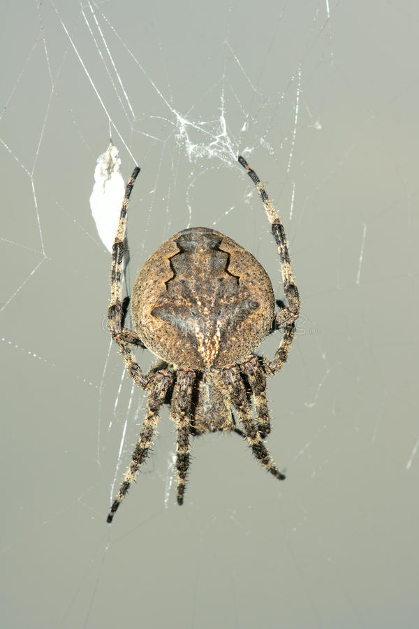 Download Spider stock image. Image of spider, insect, ventricosus - 32651941