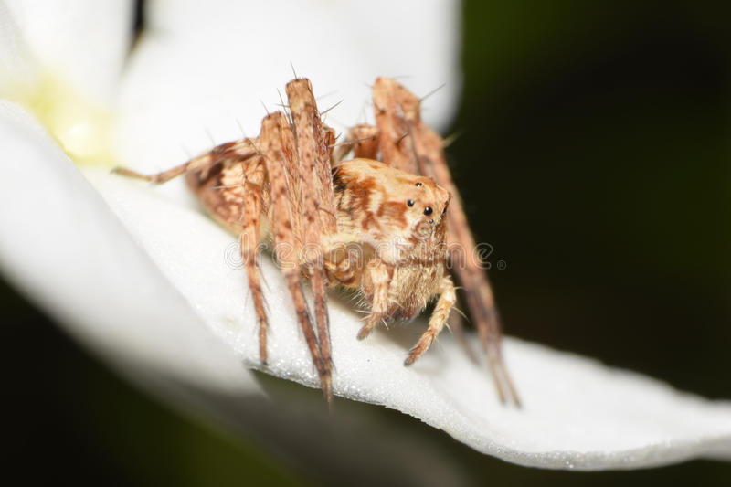 Spider. Close up of spider on flower petal stock image