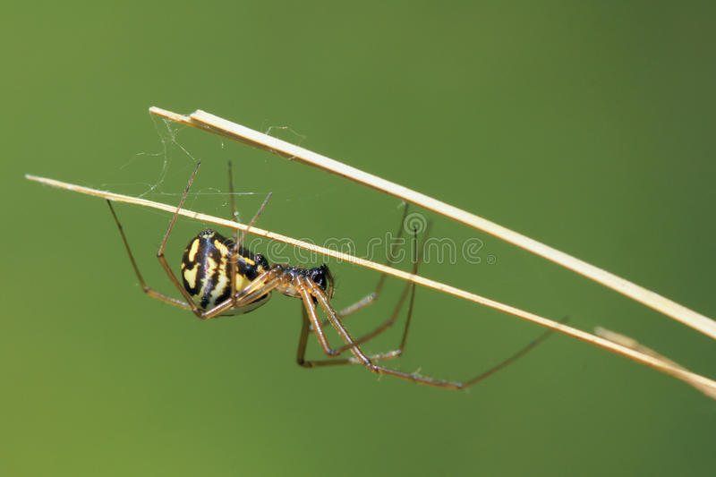 Spider. The close-up a spider on grass stem royalty free stock images