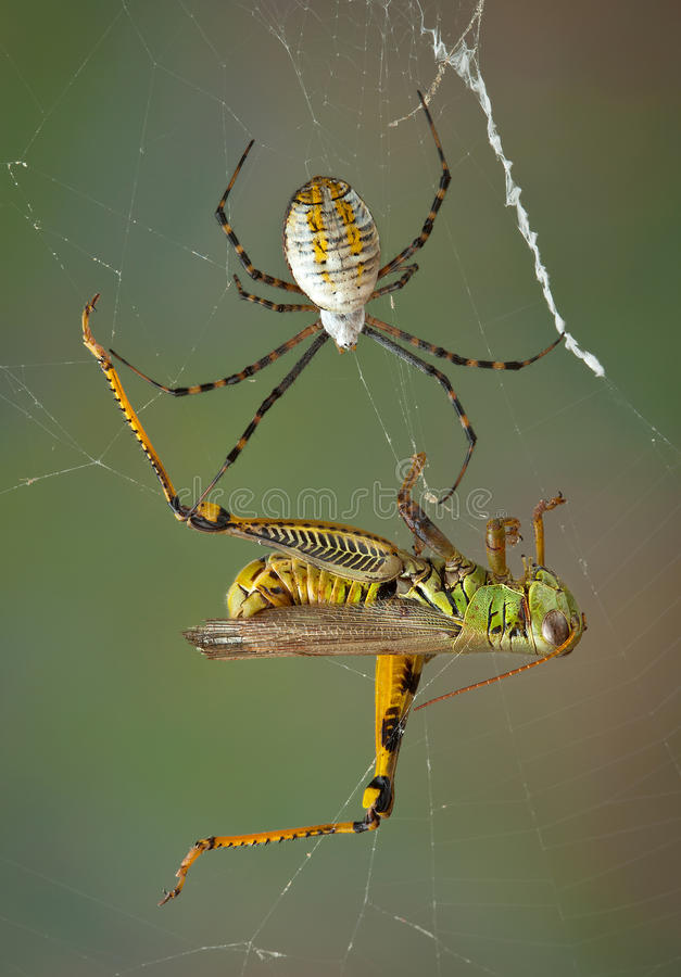 Download Spider Closing In On Hopper Stock Photo - Image: 26927750