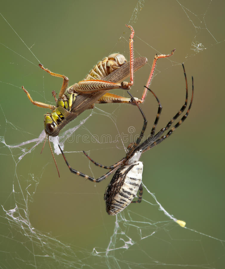Spider closing in on hopper in web royalty free stock photo