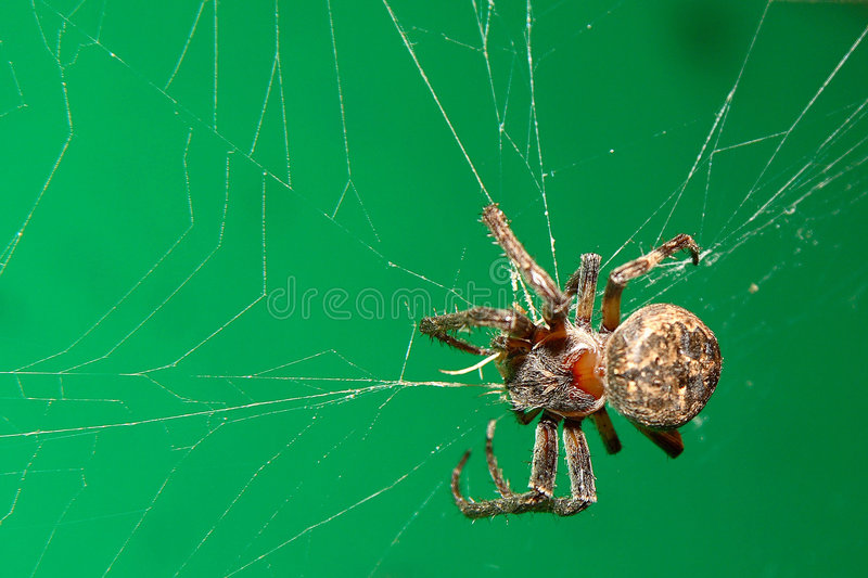Spider on the cobweb stock photography