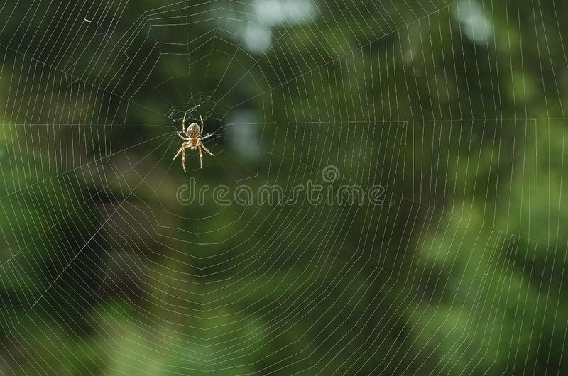 A spider on a cobweb in anticipation of food.  royalty free stock image