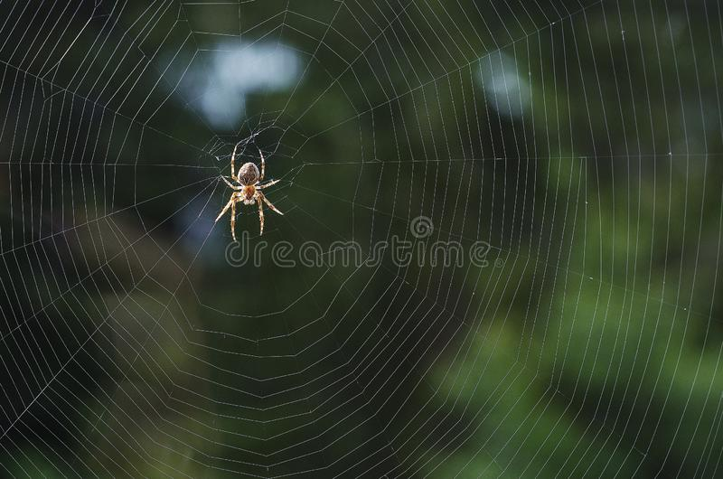 A spider on a cobweb in anticipation of food 1. A spider on a cobweb in anticipation of food a spider on a cobweb in anticipation of food royalty free stock photo
