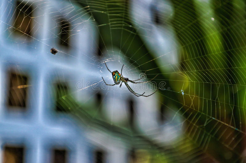Spider. Colorful Orchard Orbweaver Spider in a web stock photo