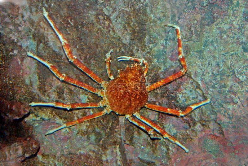 Download Spider Crab Inside The Aquarium Stock Photo - Image: 4090520