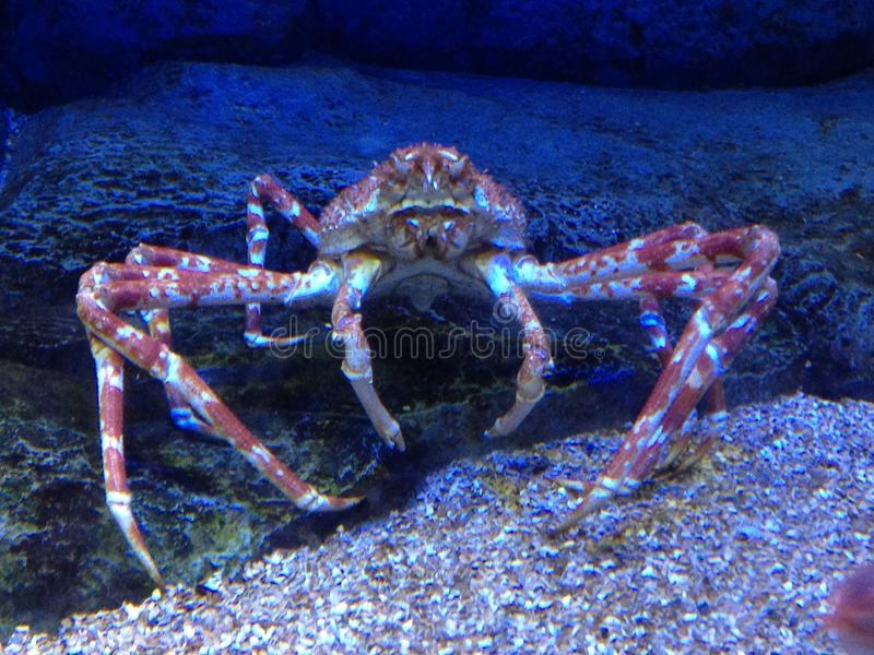 spider crab king royalty free stock photography
