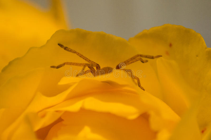A spider crawls out of a flower royalty free stock photos