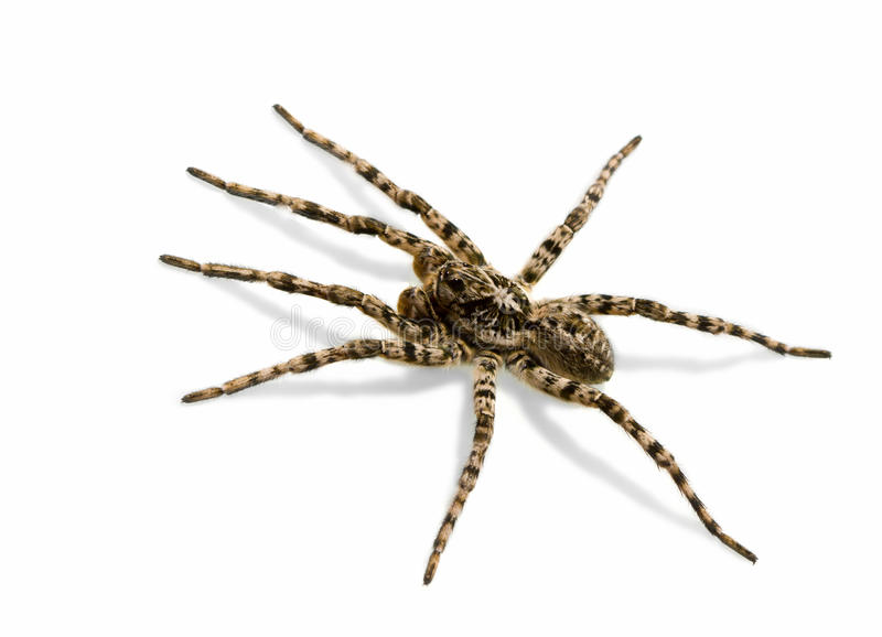 Spider - creepy fear. Tarantula spider isolated over white background with shadow royalty free stock image