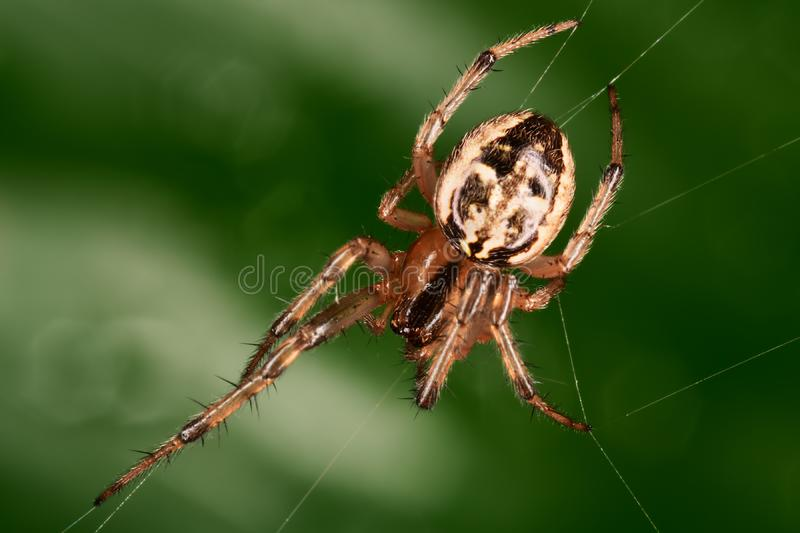 Spider in the dark green backgound. Closeup royalty free stock photo
