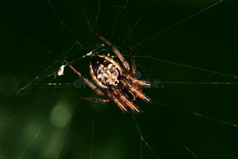Spider in the dark green backgound. Closeup stock image