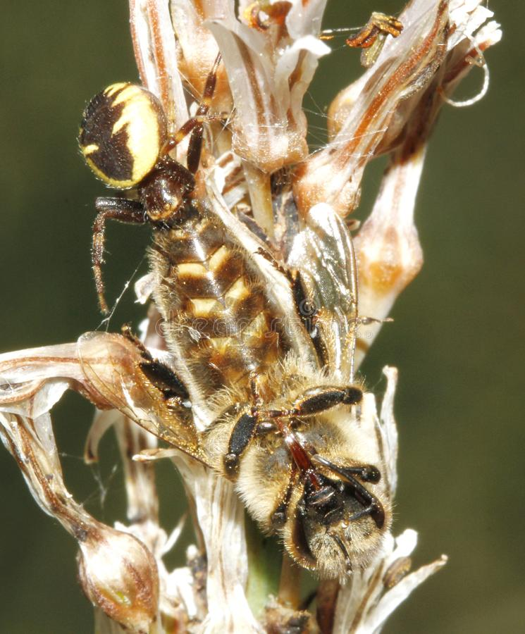 Spider and devouring trapped prey over a flower vertical. A synama globusom mediterranean spider species trapping a bee over a stem in a forest in the spanish stock photos