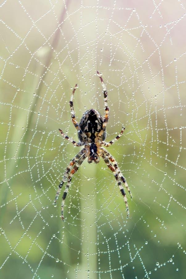 Spider on dewy web. Striped spider (araneus diadematus / epeira diadema) waiting on his morning dewy web for a breakfast. Lipno, Czech Republic stock photo