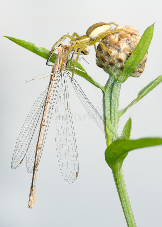 Download Spider and dragonfly stock image. Image of plant, field - 11147331
