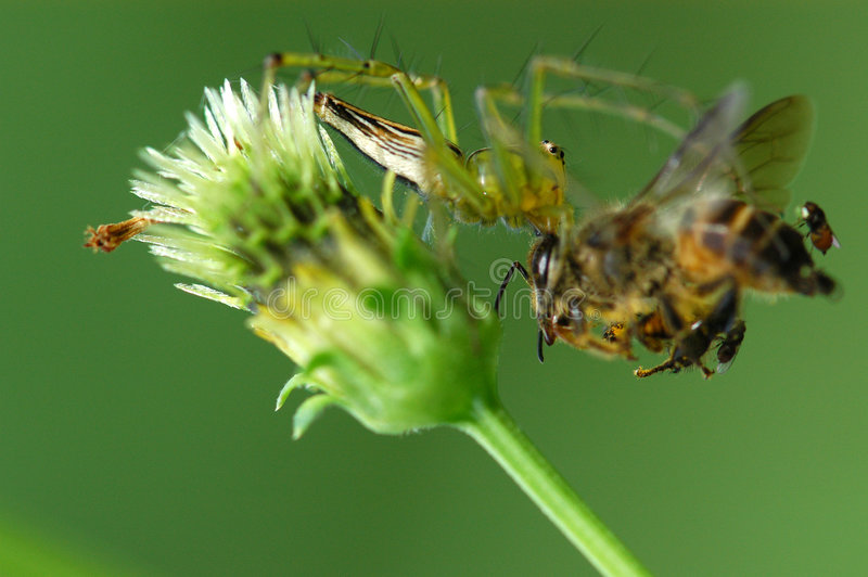 Download Spider eating a bee stock photo. Image of leaf, forest - 2523272